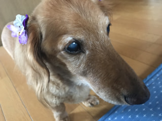 我が家のアイドル犬、ミニチュアダックスです★